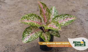 aglaonema-baby-queen-aglaonema-commutatum-widuri-site-01