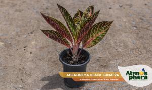 aglaonema-black-sumatra-aglaonema-commutatum-black-sumatra-site-01