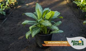 aglaonema-cinza-aglaonema-commutatum-silver-queen-site-01