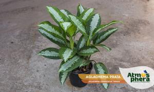 aglaonema-prata-aglaonema-commutatum-pataya-site-01