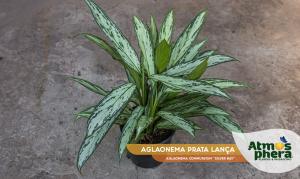 aglaonema-prata-lanca-aglaonema-commutatum-silver-bay-site-01