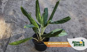 aglaonema-queen-aglaonema-commutatum-queen-site-01