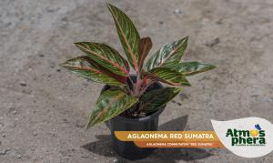 aglaonema-red-sumatra-aglaonema-commutatum-red-sumatra-site-01